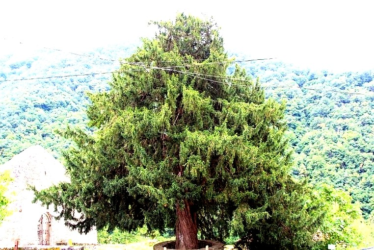 El Tejo, el único árbol que crece al revés | Blog de